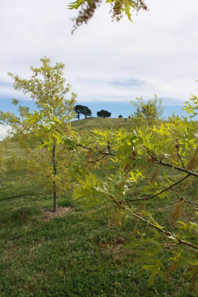 Pin Oak (8)