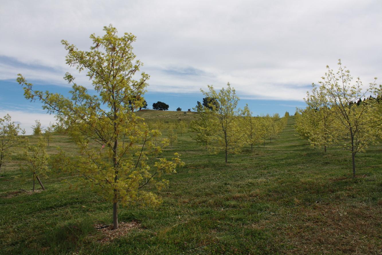 Pin Oak (9)