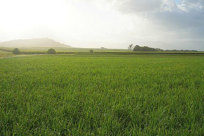 cane fields1