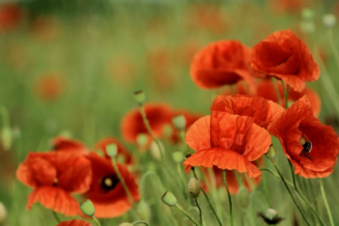 poppies feature