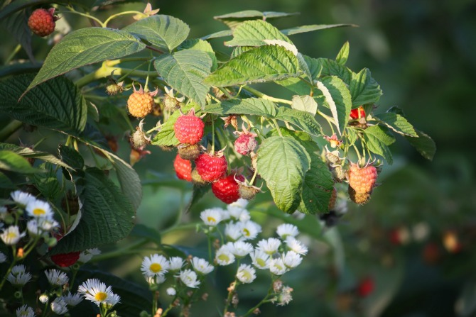 raspberries garden feature