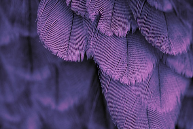 purple feathers feature