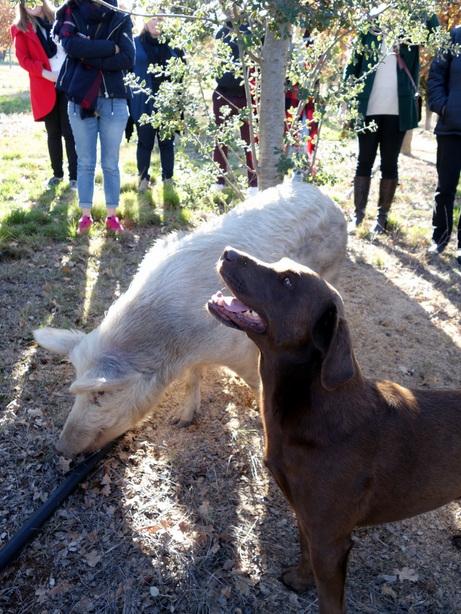 Truffle farm dog pig