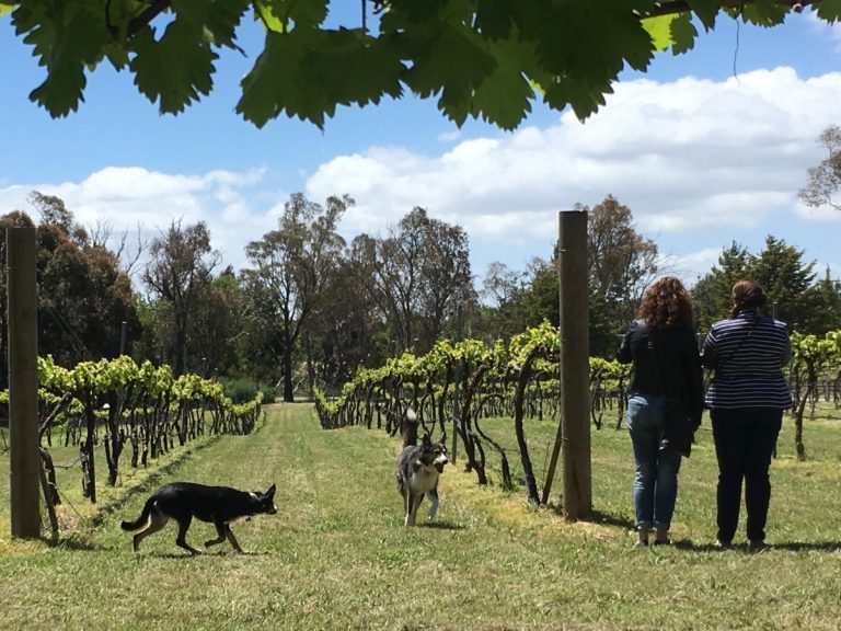 Wine dogs Mollie and Tannin entertain the guests at Murrumbateman Winery.