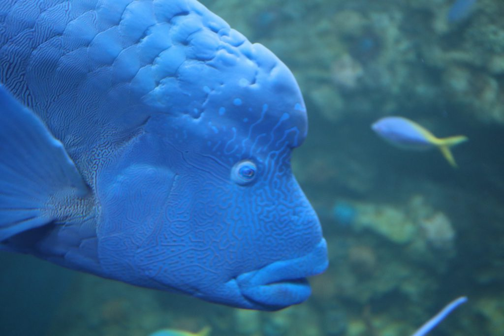 Maori Rass fish