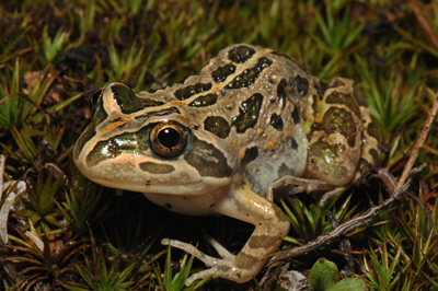 spotted-marsh-frog-1