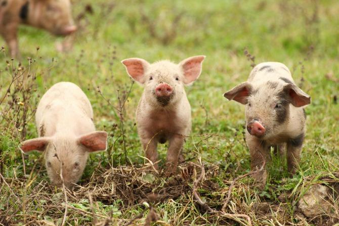 piglets farm_feature