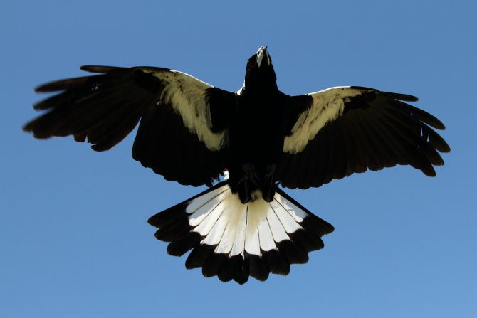 It's officially magpie swooping season