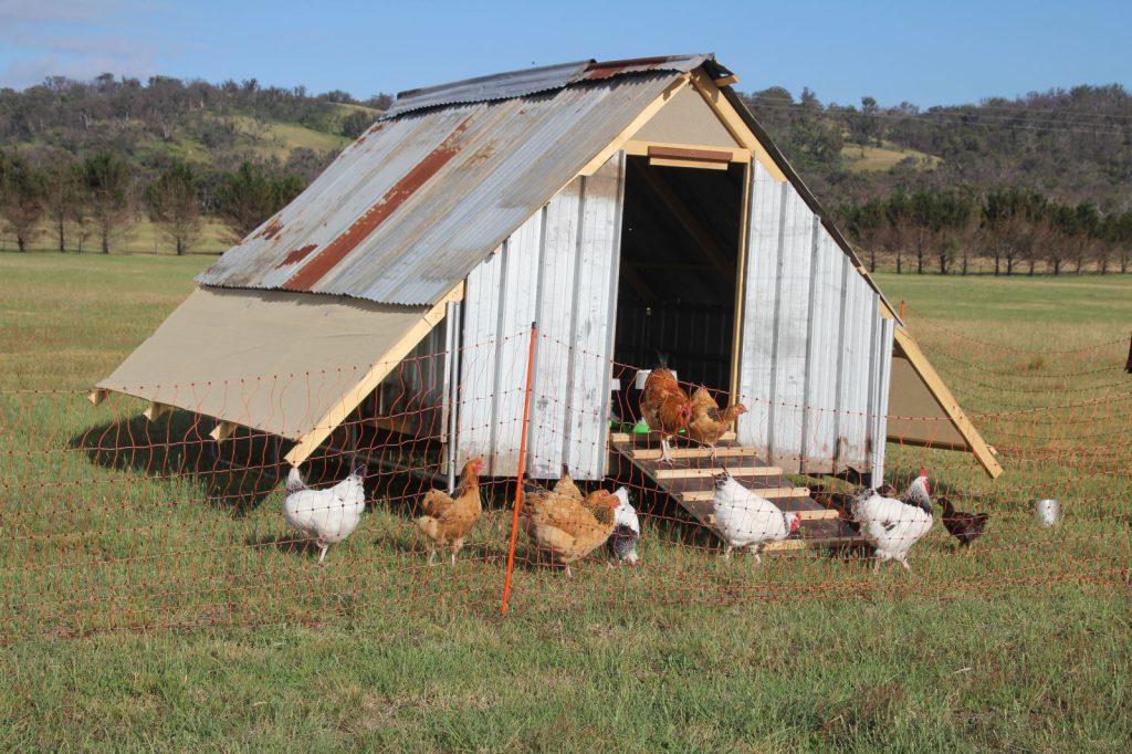 Chickens at Caroola Farm