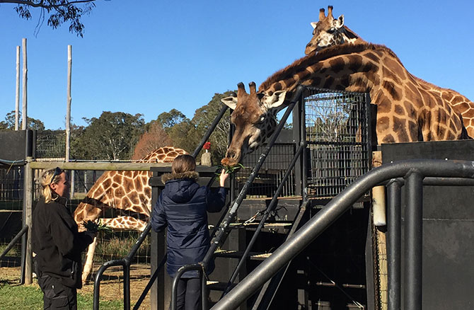 Miss 11 feeding the giraffes at Mogo Zoo.