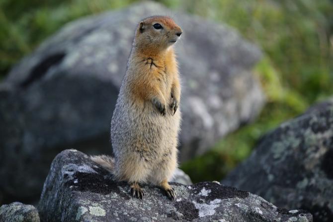 Ground squirrel (Yttegran Island)_23Aug