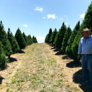 It's beginning to look a lot like Christmas at Canberra's own Christmas tree farm