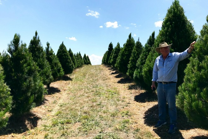 Where to find a real Christmas tree in Canberra