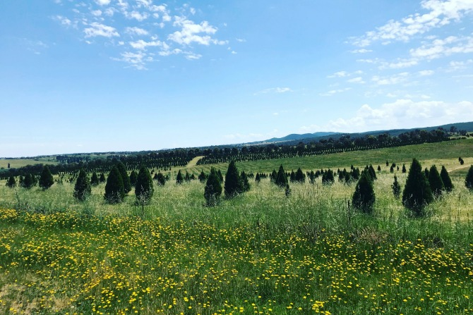 Ziggy Kominek's Christmas trees are ready for harvest. - Where To Find A Real Christmas Tree In Canberra - HerCanberra.com.au