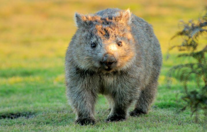 For the love of wombats